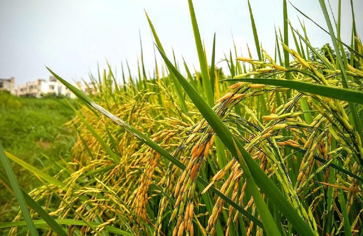 paddy-arroz-espiga-960x570